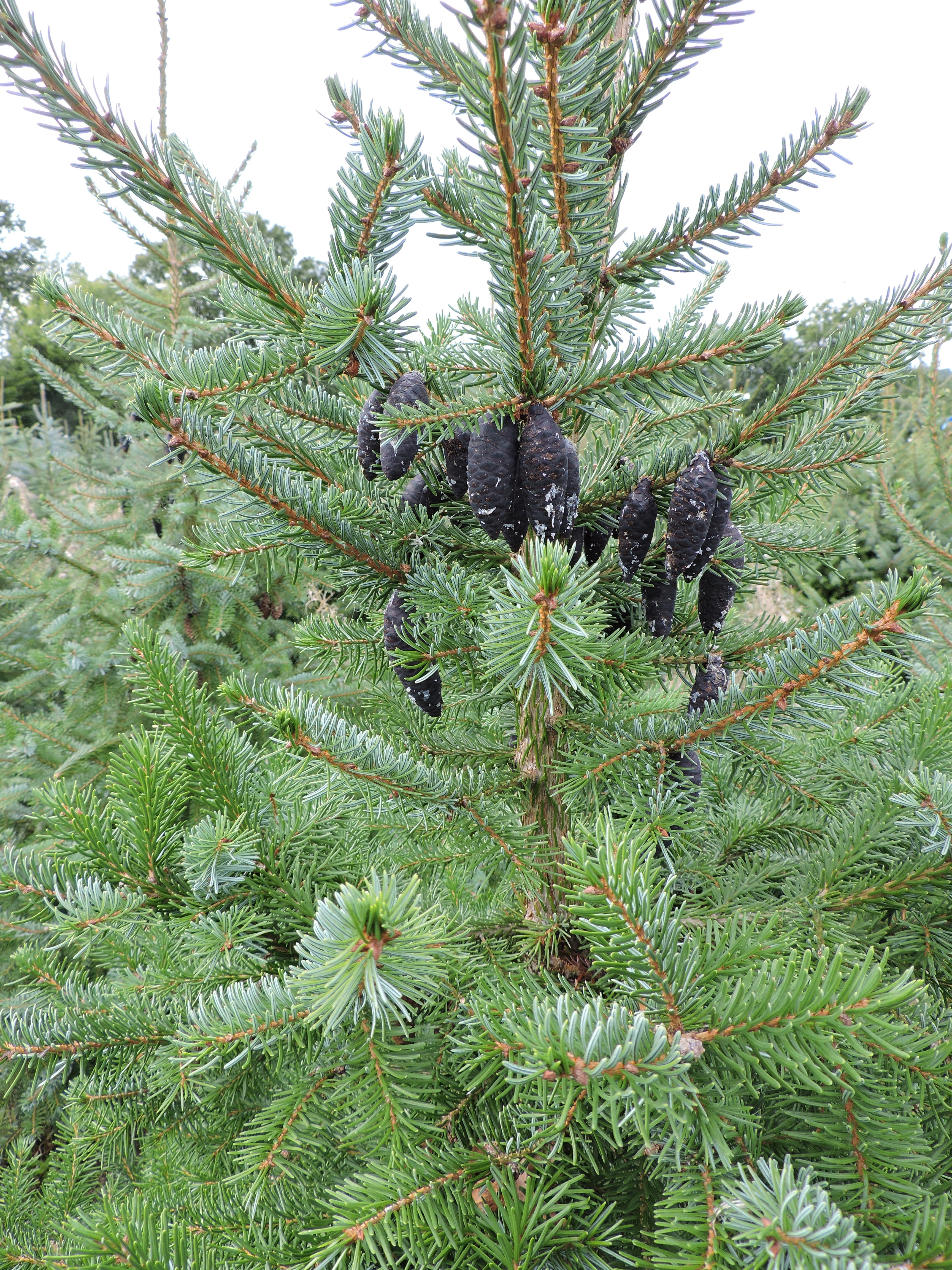 Species of Christmas Trees Kent and Sussex | Hole Park ...