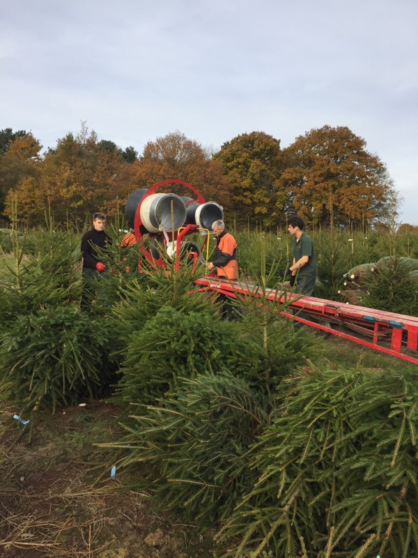 Christmas Tree Harvesting at Hole Park, Rolvenden, Kent.
